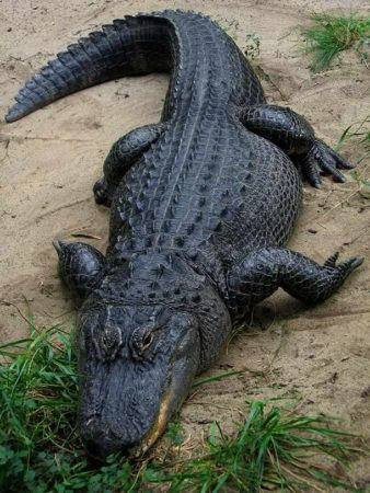Американский аллигатор